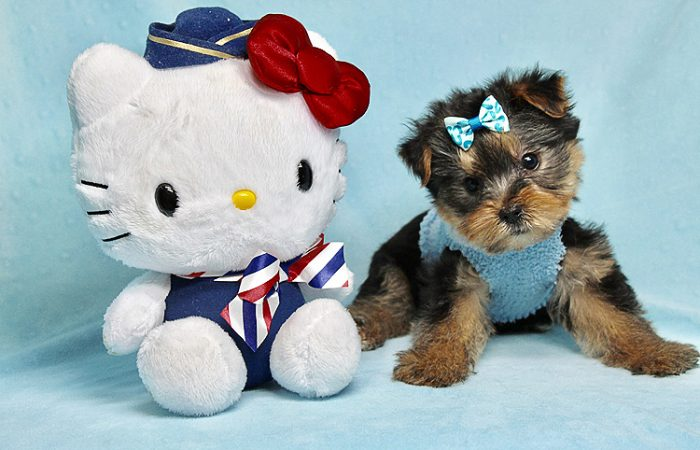 Charlie - Teacup Yorkie Puppy has found a good loving home with Claudia from Panorama City, CA 91402-27720