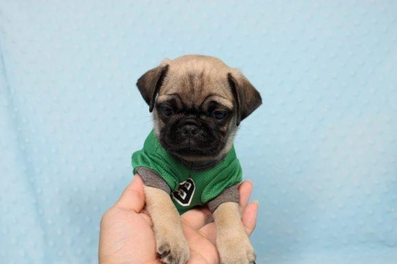 Cheif - Toy Pug Puppy-0