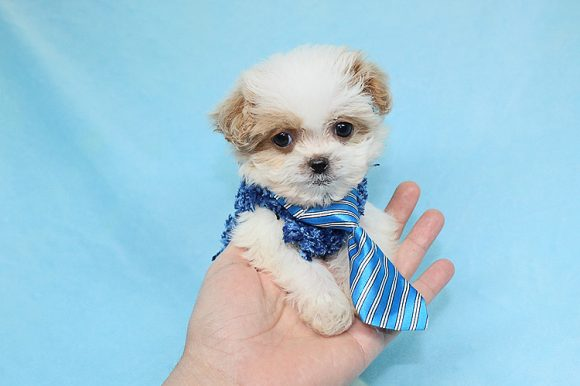 Chief - Tiny Teacup Shipoo Puppy was adopted by Roland A Twentynine Palms CA 92277-0