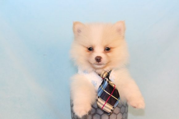 Chips - Teacup Pomeranian Puppy
