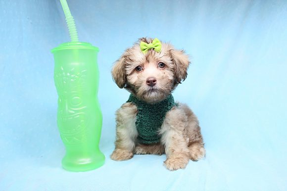 Christian Bale - Teacup Malshi Puppy