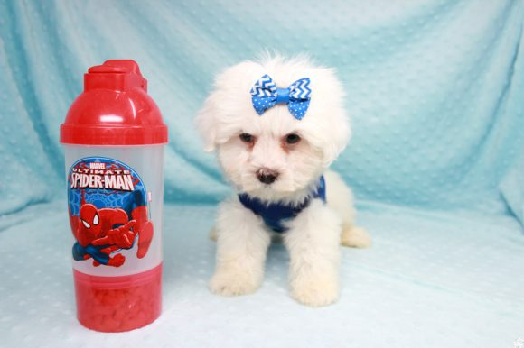 Cupid - Teacup Maltipoo Puppy has found a good loving home with Jess from Las Vegas, NV 89142. -0
