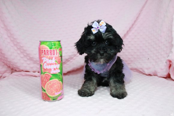 Dahlia - Toy Maltipoo Puppy has found a good loving home with Kiersten from Las Vegas, NV 89183-0
