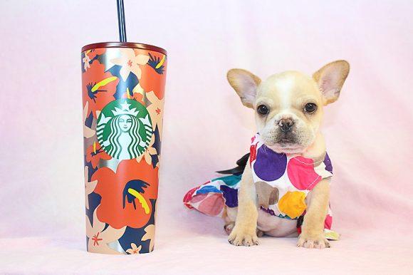 Daisy - French Bulldog Puppy