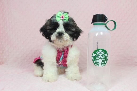 Daisy - Toy Shih-Tzu Puppy Found her New Loving Home with Beth From Calabasas CA 91302-0