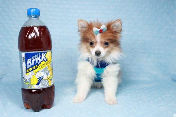 Denmark - Teacup Pomeranian Puppy has found a good loving home with Doris from Boise, ID 83705-0