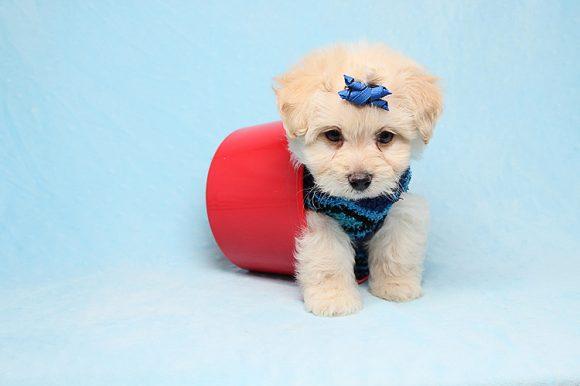 Despacito - Teacup Maltese Puppy
