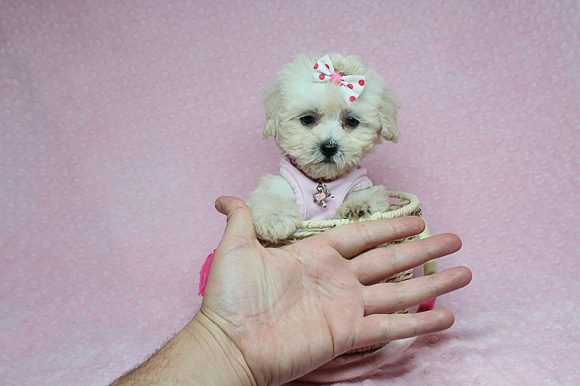 Dinky - Teacup Maltipoo Puppy has found a good loving home with Renee from Pahrump, NV 89048-0