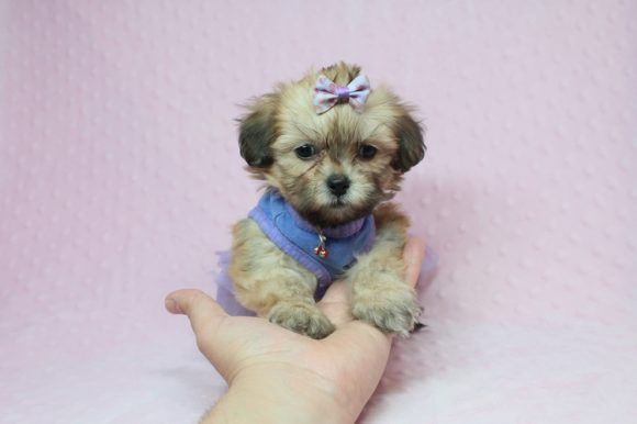 Donna Karan - Toy Malshi Puppy has found a good loving home with Alejandro O. from Whittier, CA!-0