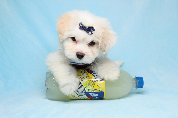 Dude Perfect - Teacup Maltese Puppy has found a good loving home with Artur from Glendale, CA 91204-0