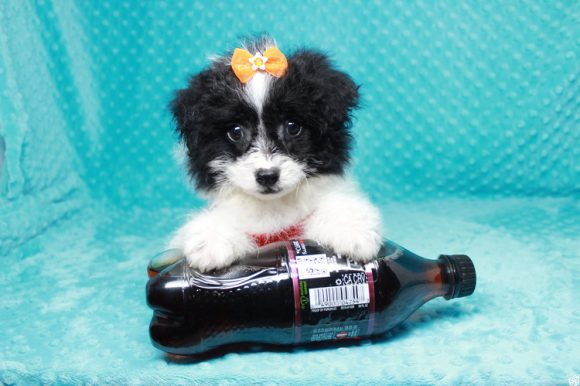 Dumbo - Toy Maltipoo Puppy has found a good loving home with Naiby from Las Vegas, NV 89102.-0
