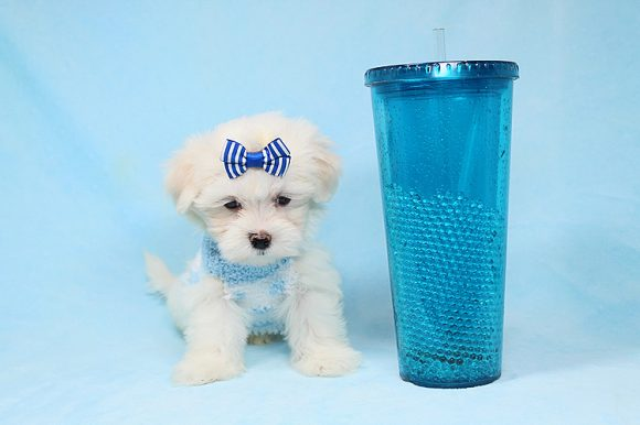 Dylan McKay - Teacup Maltese Puppy has found a new home with Bailey from Newport Beach CA-0