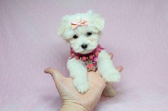 Ella - Teacup Maltese Puppy has found a good loving home with Natalie from Boise, ID 83702-0
