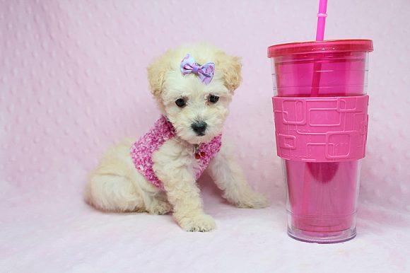 Eternity - Teacup Maltipoo Puppy in Los Angeles Las Vegas