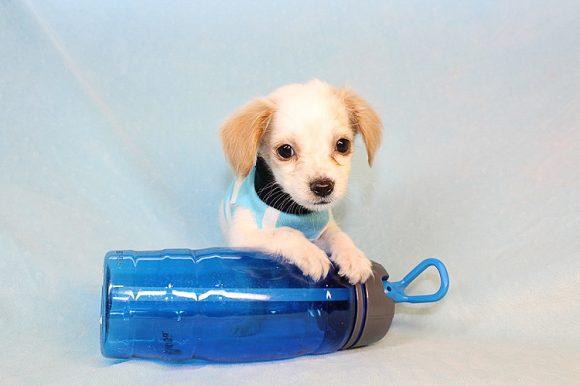 Felix - Teacup Maltipoo Puppy