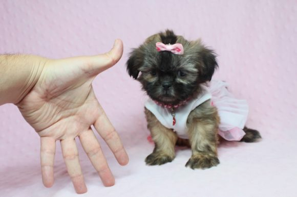 Fendi - Teacup Shih-Tzu Puppy has found a good loving home with Bryce & Staci from Las Vegas, NV 89131.-0