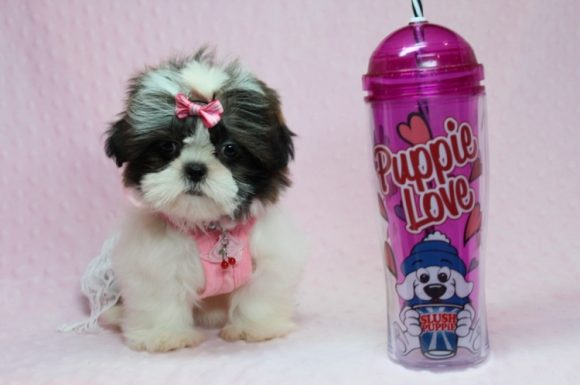 Fiona - Teacup Shih-Tzu Puppy has found a good loving home with Deborah from Las Vegas, NV 89123-0
