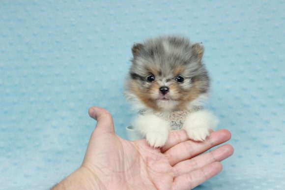 Forbes - Tiny Teacup Pomeranian Puppy has found a good loving home with Thousand Oaks, CA 91362-0