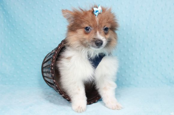 France - Toy Pomeranian Puppy has found a good loving home with Brett from Las Vegas, NV 89142-0