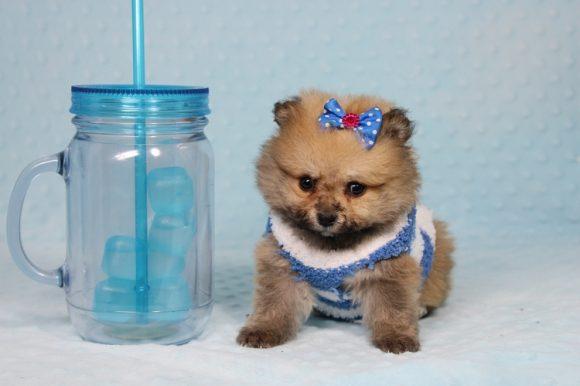 General - Tiny Teacup Pomeranian Puppy -0