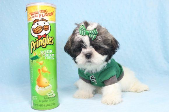 Greg - Toy Shih-Tzu Puppy -0