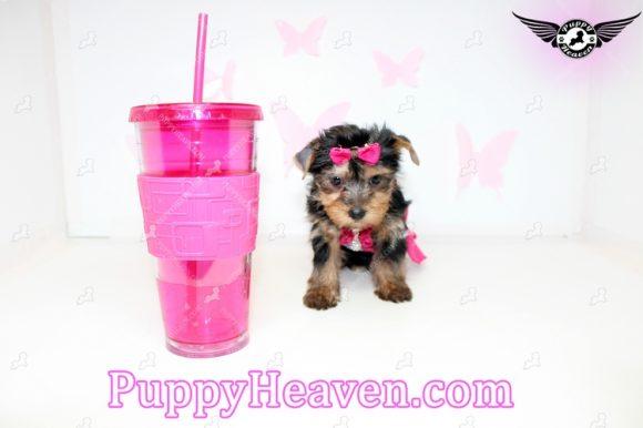 Valerie- Teacup Yorkie Puppy In los Angeles-0