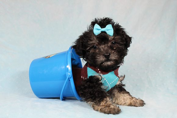 Harley - Teacup Maltipoo Puppy has found a good loving home with Emily from Fountain Valley, CA 92708-0