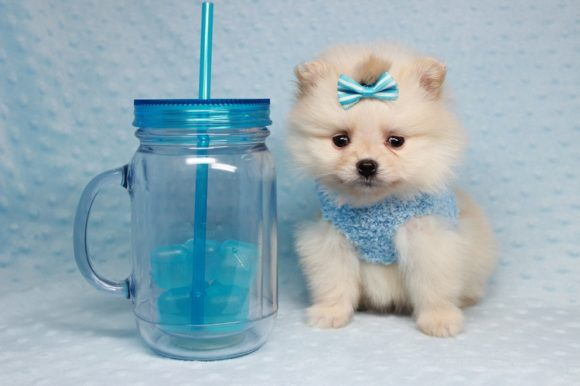 Hugo Boss - Teacup Pomeranian Puppy has found a good loving home with Lila & Darryl from Las Vegas, NV 89129-0