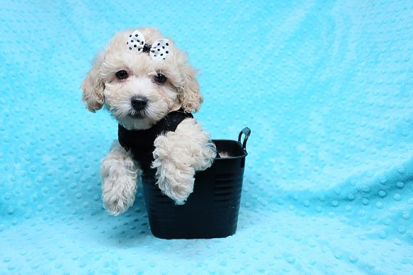 Julian - Teacup Maltipoo Puppy has found a good loving home with Jonathan from Los Angels, CA 90035.-0