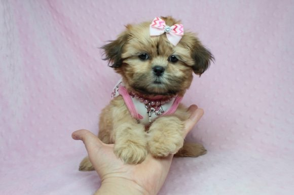 Jennifer Aniston - Toy Shih-Tzu Puppy has found a good loving home with Nicole from Fresno, CA 93737-0