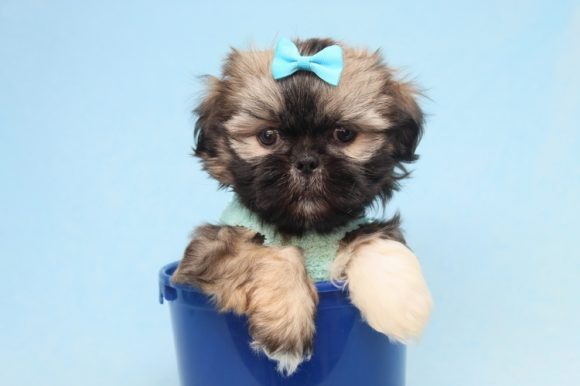 Jimmy Choo - Teacup Shih-Tzu Puppy has found a good loving home with Mery from South Gate, CA 90280-0