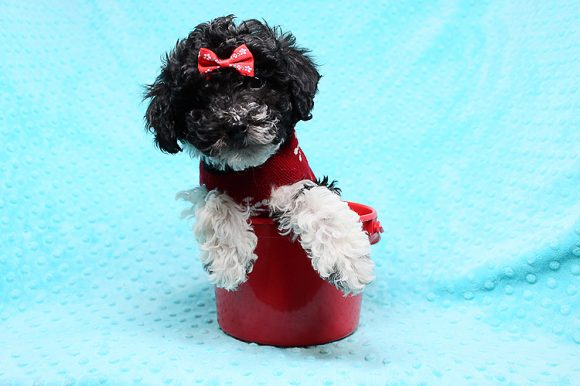 Jordan - Toy Maltipoo Puppy has found a good loving home with Idalia from Las Vegas, NV 89130.-0