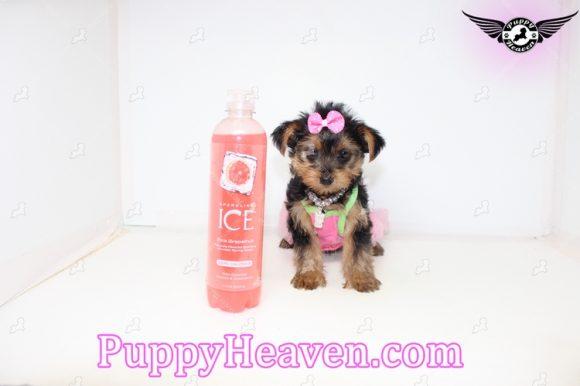 Julia Roberts - Teacup Yorkie Puppy In Los Angeles -0