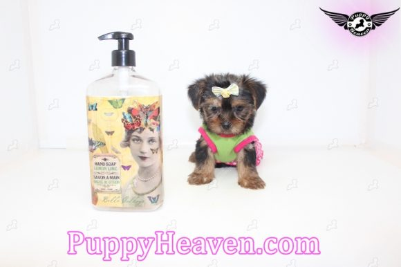 Julia Roberts - Teacup Yorkie Puppy Found Her Loving Home with Andrea From Panorama City CA-0
