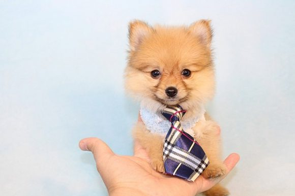 Justin Beiber - Teacup Pomeranian Puppy is on hold for Joe from Moreno Valley, CA 92553-0
