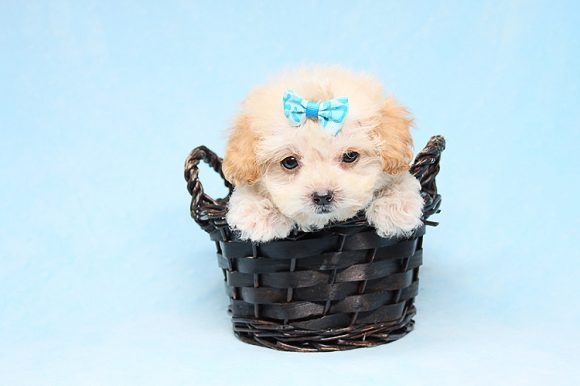 Justin Timberlake - Tiny Teacup Maltipoo Puppy has found a good loving home with Lester from Northridge, CA 91325-0