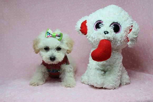 Keira Nightley - Teacup Maltipoo Puppy has found a good loving home with Kathleen from Las Vegas, NV 89144.-0