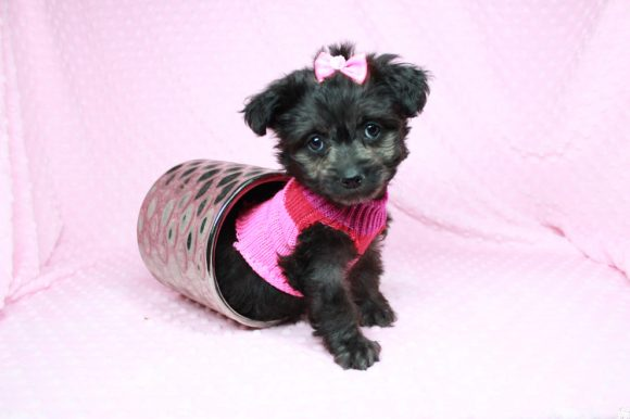 Lady Gaga - Toy Yorkipoo Puppy has found a good loving home with Stanley from Kingman, AZ 86409-0