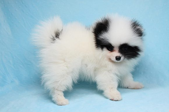 Lamborghini - Teacup Pomeranian Puppy