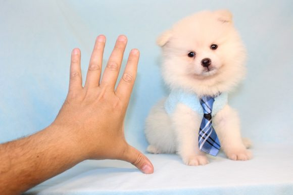 Lays - Toy Pomeranian Puppy