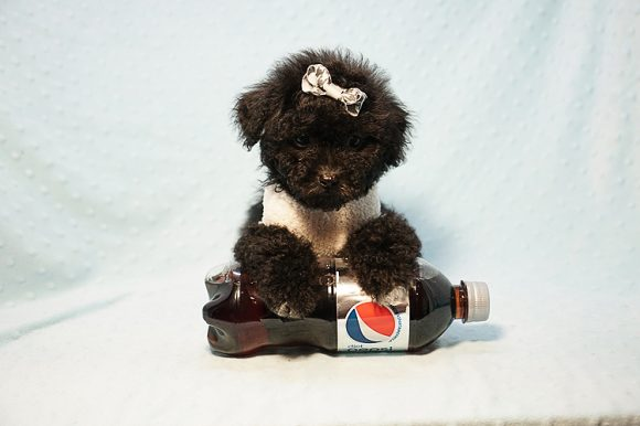 George Foreman - Toy Maltipoo Puppy In Los Angeles-0