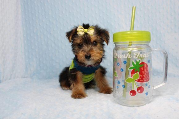 Lieutenant Dan - Teacup Yorkie Puppy-0