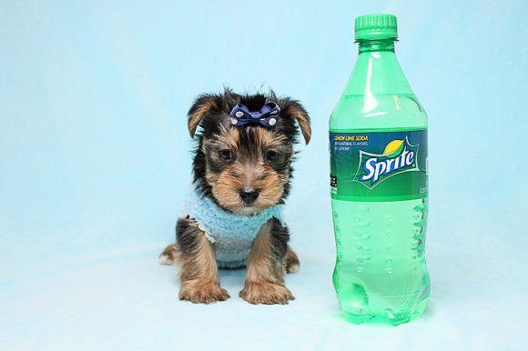 Like - Teacup Yorkie Puppy in Los Angeles Las Vegas