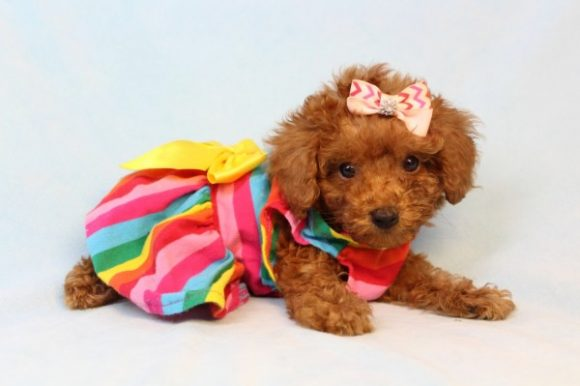 Lily - Teacup Poodle Puppy-0