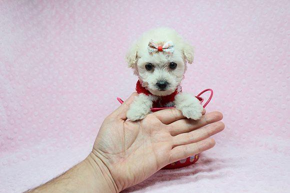 Lolita - Teacup Maltipoo puppy in Los Angeles Las Vegas