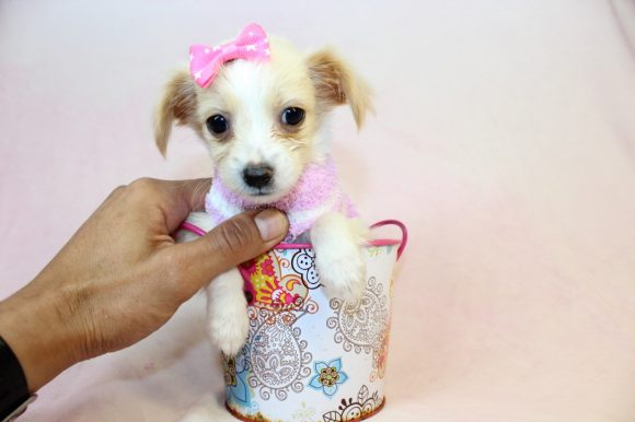 Lucy - Teacup Malchi Puppy