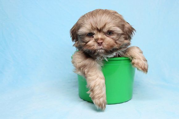 Luis Fonsi - Toy Shih Tzu Puppy has found a good loving home with Eric&Lola from Oxnard CA, 93030-0