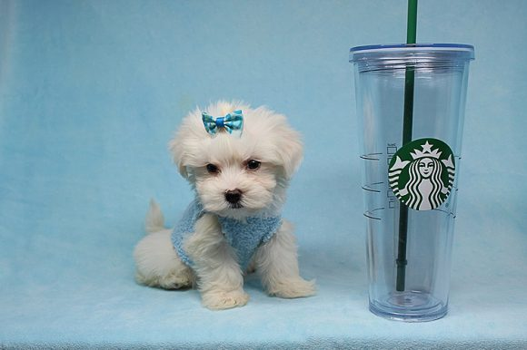 Luke Perry - Teacup Maltese Puppy has found a good loving home with Dax from Stockton, CA 95209-0