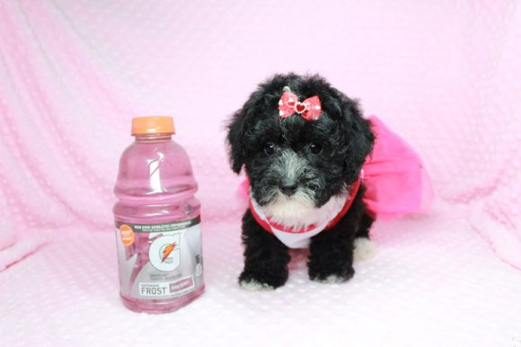 Luna - Toy Maltipoo Puppy has found a good loving home with David from Simi Valley, CA 93065-0