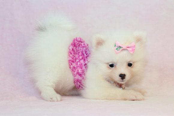 Lush - Teacup Pomeranian Puppy